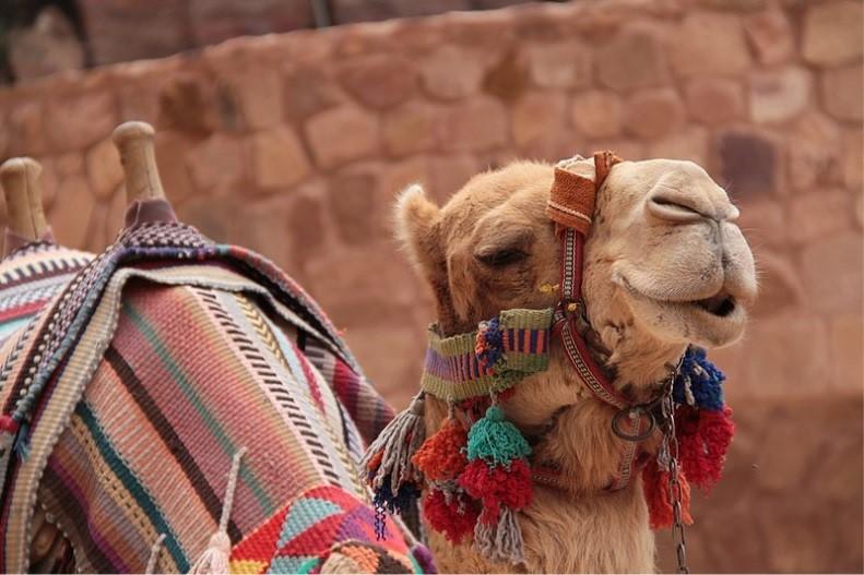 Camel at Wadi Rum
